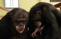 Jeugdjournaal - Aap Marria ontmoet na 13 jaar voor het eerst een andere aap