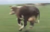 Swingende koeien vieren voorjaar