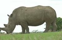 Jeugdjournaal - Laatste witte neushoorn mannetje ter wereld dood