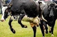 Jeugdjournaal - Deze blije koeien mogen weer naar buiten