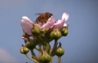 Jeugdjournaal - Kinderen moeten bijen helpen om te overleven