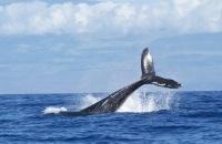 Zeldzame sprong van drie walvissen tegelijkertijd