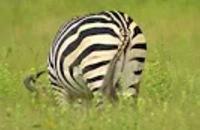 Ed and Eppa: De zebra