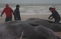 Nieuwsbegrip - Potvissen aangespoeld bij Texel