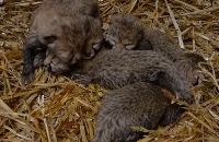 Eerste beelden jachtluipaardjes vijfling