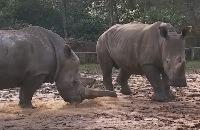 Jeugdjournaal - Neushoorn in dierentuin gedood door criminelen