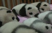 Leuke panda videoshots