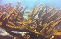 Jeugdjournaal - Enorme schade aan koraalrif Curaçao