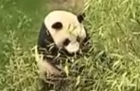 Jeugdjournaal - Nederlandse panda s voor het eerst naar buiten