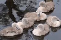 Vroege Vogels - Dommelende kleine zwaantjes