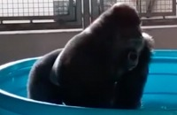 Gorilla Flashdance in Pool
