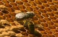 Bijen - Het verhaal van de honingmakers