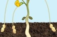 De pindaplant - Hoe groeit een pinda