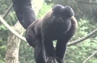 Jeugdjournaal - Nieuwe apen met baarden in Nederland filmpjes