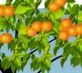 Speel het nieuwe spel: Sinaasappelpluk